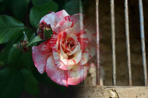 rose_carcere500
