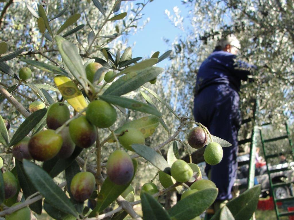 oliva-olio-raccolta-scala